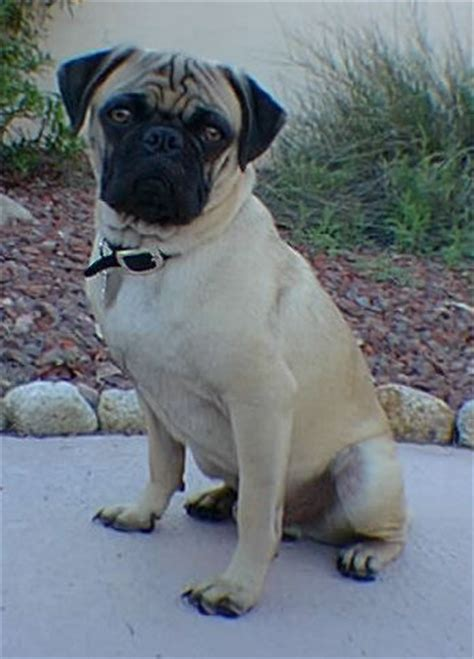 pug temperament stubborn pug breeder retriever a website about dogs and puppies
