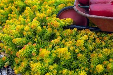 plants  shallow rocky soil sedum rupestre angelina