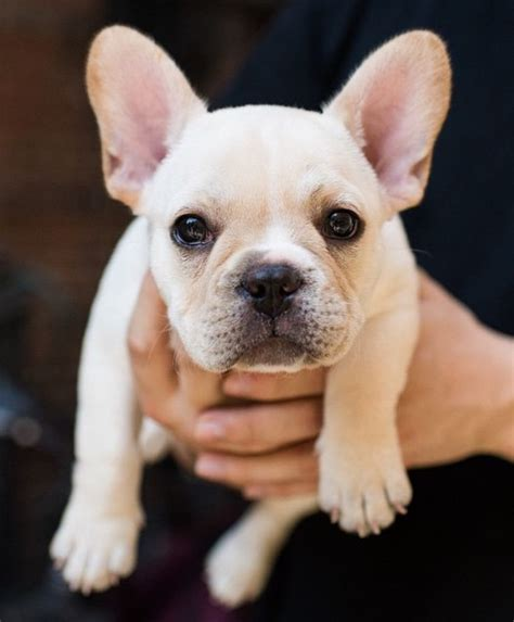 bulldog puppies ta 1000 ideas about bulldog pups on bulldogs bulldog puppies
