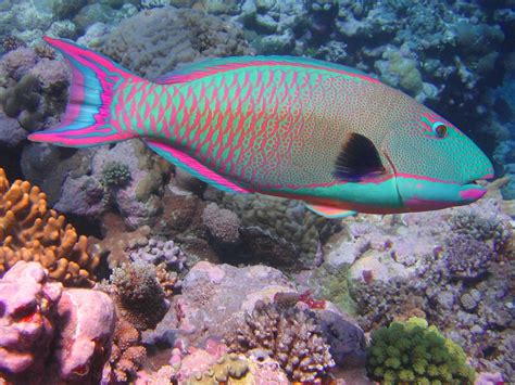 Ikan Hias Laut 48 ikanhias info akuarium air laut