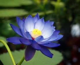 Blue Lotus High High Res Blue Lotus Wallpapers 578755 Kelsey Cook Sat 25