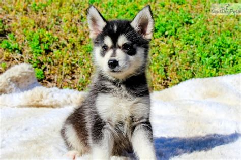pomsky puppies for sale florida stunning pomsky puppies for sale text 646 481 9801 33319 for sale fort lauderdale