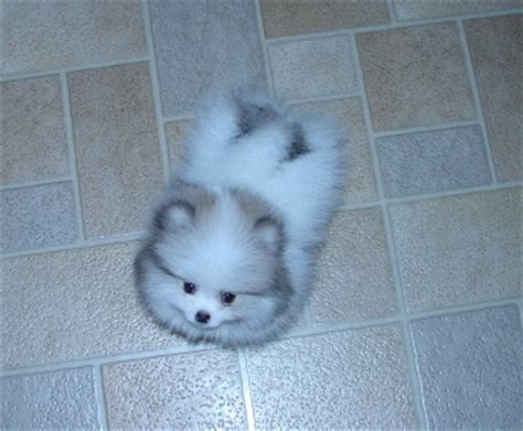 baby pomeranian for free beautiful baby pomeranian dallas or asnclassifieds