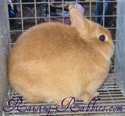 netherland rabbit colors netherland 371 senior weight not 2 189