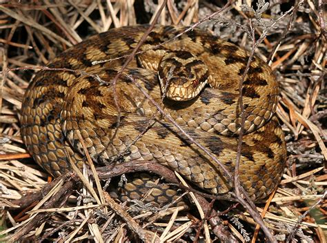 zig zag pattern snake surrey amphibian and reptile group adder