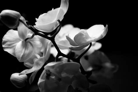 black and white orchid wallpaper black and white orchid by freye on deviantart