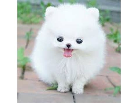 everything you need to about pomeranians things you need to before buying a pomeranian husky berkeley ca patch