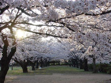 ciliegio in fiore passeggiando contro ogni razzismo sotto i ciliegi in