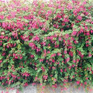 hardy fuchsia shrubs fuchsia magellanica