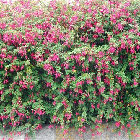 hardy flowering evergreen shrubs hardy fuchsia shrubs fuchsia magellanica
