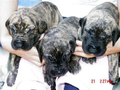 cheap great dane puppies for sale 1000 ideas about cheap puppies for sale on teacup yorkie for sale yorkie