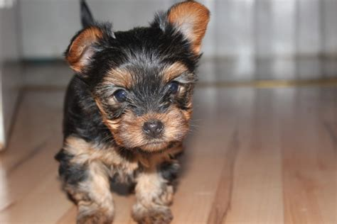 teacup yorkie puppies colorado tiny teacup terrier puppies maidenhead berkshire pets4homes