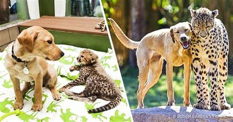 fotos animales juntos 15 fotos de animales que crecieron juntos como grandes amigos