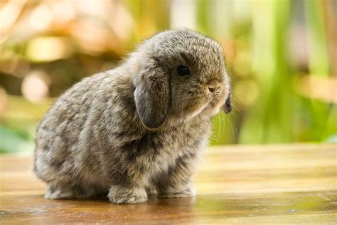 world s smallest breed 12 of the cutest smallest breeds of rabbits in the world pets4homes