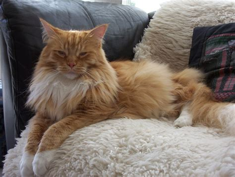 Jual Kater by Maine Coon Cats Cats