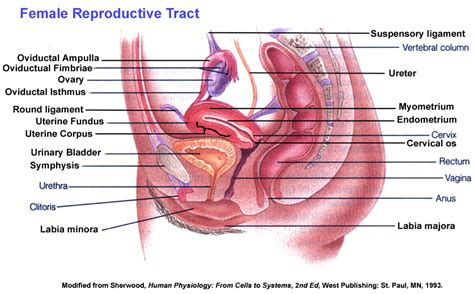 which body section contains the reproductive structures on a beetle anatomy image organs best design diagram basic view part