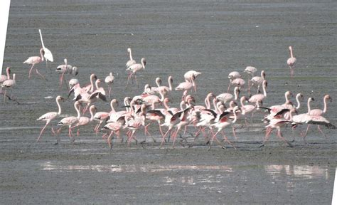 Flamingo On Point by Sewri Flamingo Point Bombay