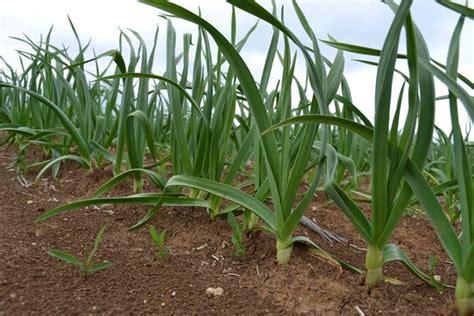 coltivazione aglio in vaso coltivazione dell aglio coltivare orto come coltivare