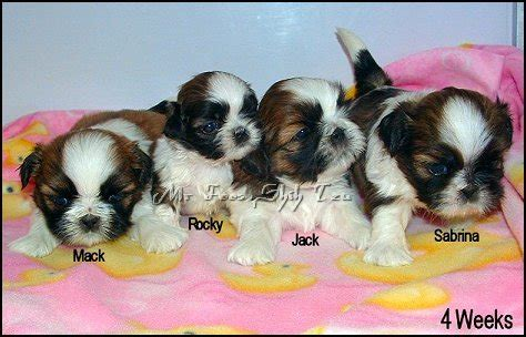 mr foo shih tzu mr foo s shih tzu of indiana kentucky missouri illinios ohio michigan shih tzu