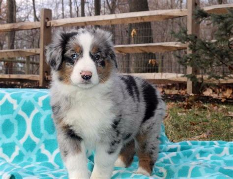 australian shepherd puppies for adoption accomplished australian shepherd puppies for sale for sale adoption from auckland