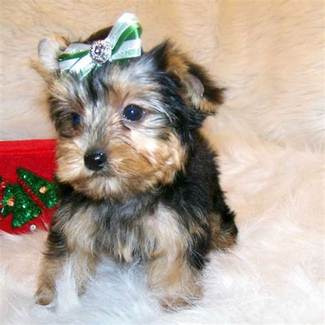 tiny yorkies yorkies for sale get tiny puppy
