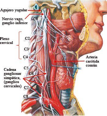 cadenas ganglionares cara y cuello fig 6 57 cara y cuello vista lateral derecha nervio