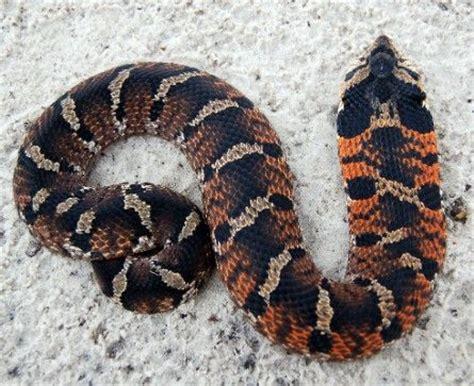 western hognose snake care color morphs  natural