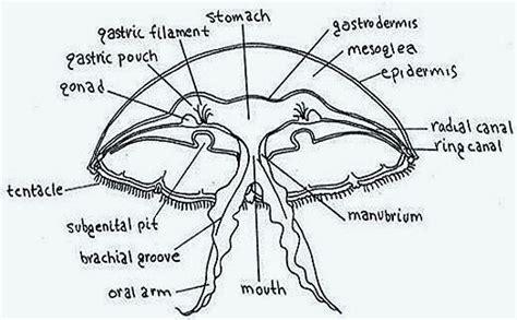 diagram of jelly fish jelly fish structure of aurelia biozoom