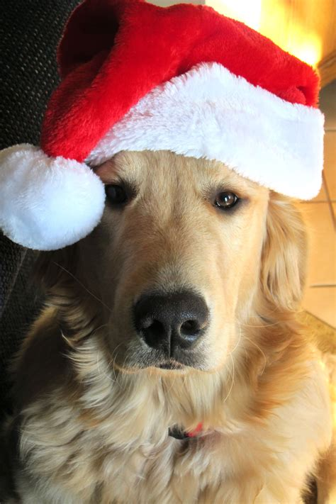 merry christmas  santas special helper goldenretriever christmas christmas wishes