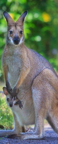 kangaroo baby swing animal pictures on pinterest