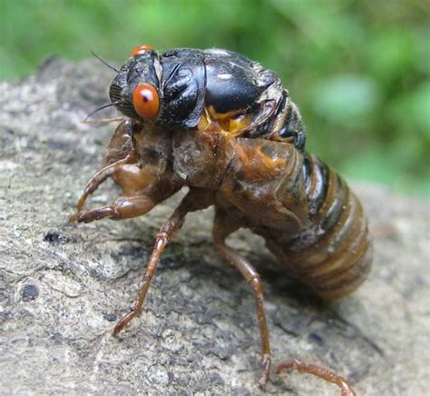 the brood summer of the cicadas the society for the