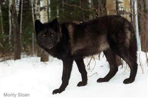 alaskan wolf the wolf in alaska wolf song of alaska