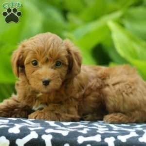 yorkie denver yorkiepoo puppies for sale from reputable breeders greenfield puppies