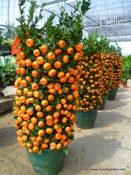 new year tangerine significance my garden buying citrus lime trees for new