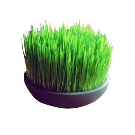 Jual Bibit Rumput Gandum Semarang bibit rumput gandum shopee indonesia
