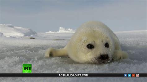 imagenes de focas blancas salvemos a la foca beb 233 documental de rt youtube