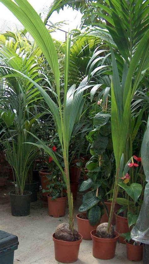 pianta di cocco da appartamento decorare la casa con le palme guida giardino