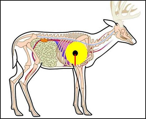 whitetail deer diagram whitetail deer anatomy placement bow www imgkid