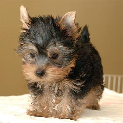 free yorkie puppies in az pets az free classified ads