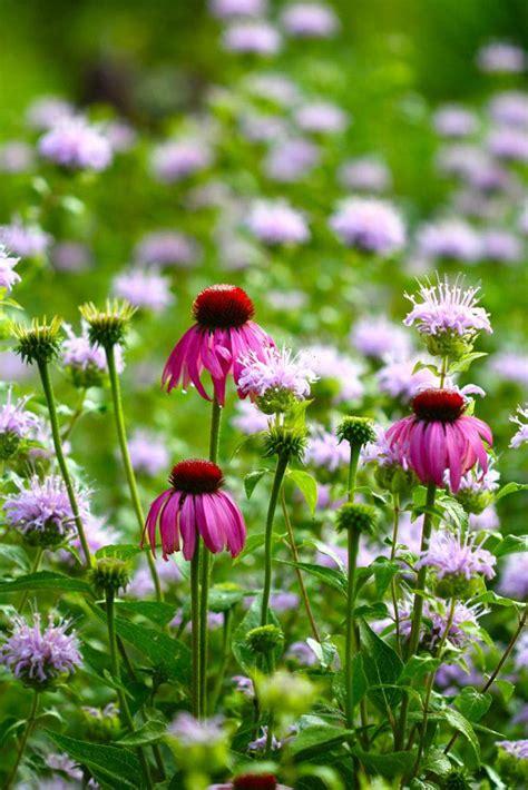top ten medicinal herbs for the garden echinacea purpurea