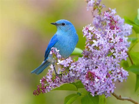 wallpaper flower and birds flowers birds lilac bluebirds wallpaper 1600x1200