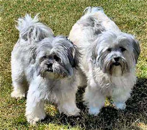 shih tzu puppies for sale richmond va shih tzu puppies for sale in richmond virginia