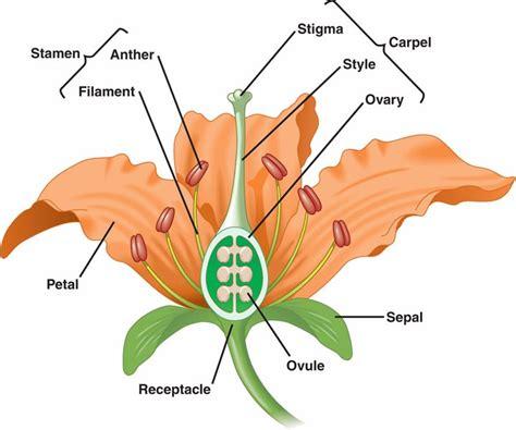 plantae flowers