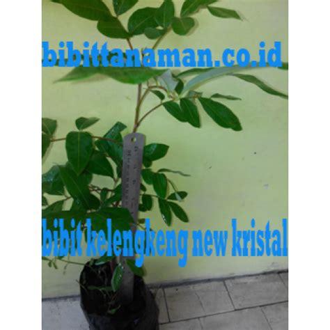 Jual Bibit Kelengkeng New 2 jual bibit tanaman unggul murah di purworejo