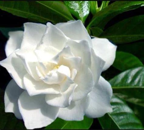 fiore all occhiello significato vita da fiori gardenia il fiore all occhiello