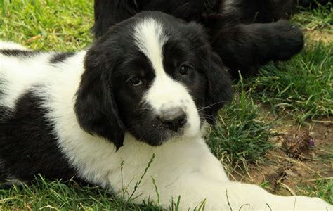 newfie puppies newfoundland puppies for sale puppies for sale dogs for sale in ontario canada