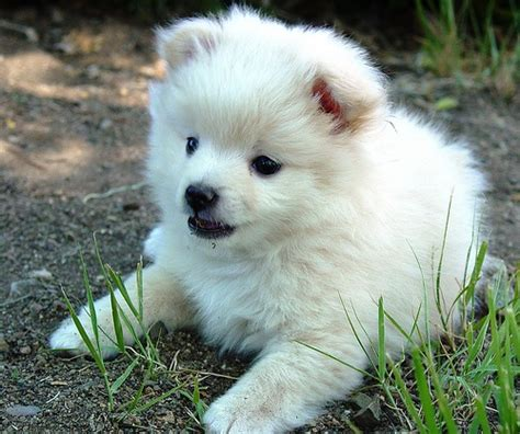 pomeranian poodle lifespan 17 best ideas about husky poodle mix on poodle