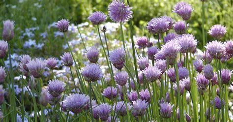 wann blüht der lavendel in frankreich lavendel pflegen lavendel pflegen geht leicht der