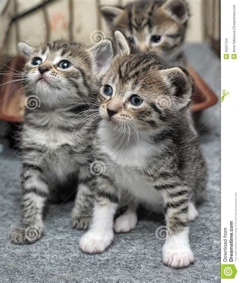 Small striped kittens stock photo. Image of haired, ears