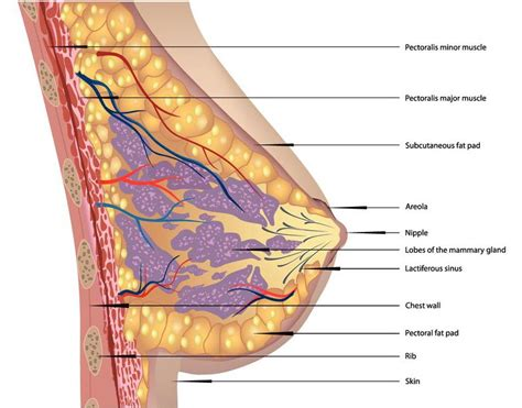 diagram of breast tissue g9 pectoral and shoulder regions studyblue